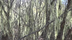 Spanish moss blowing in the wind in the mountain area of southwest China Stock Footage