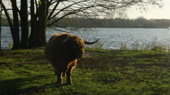 Impressive long-horned bull at lake Stock Footage