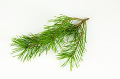 Pine tree twig at white Stock Photos
