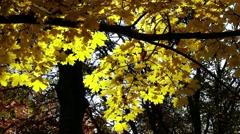 4K Autumn Sycamore Platanus Tree 1 Stock Footage