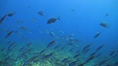 School of Bigeye Trevallies on a Coral Reef Stock Footage