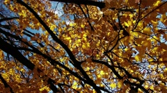 4K Autumn Sycamore Platanus Tree 4 Stock Footage