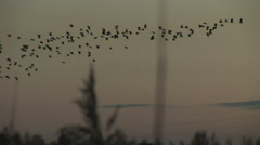 Lapwing fly low in evening sky Stock Footage