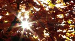 4K Autumn Sycamore Platanus Tree 6 Stock Footage