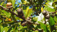 Laurel Oak Acorns Stock Footage