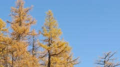 Fall Colored Trees, Low angle view of Larches (Larix). Stock Footage