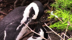 2454  African Penguins in Cape Town South Africa, HD  Stock Footage