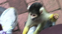 2461 Squirrel Monkey Climbing on Women and Trying to Steal Purse, HD Stock Footage