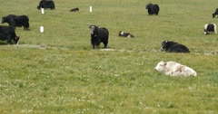 4k a flock of yak on the Prairie,China plateau scenery. Stock Footage