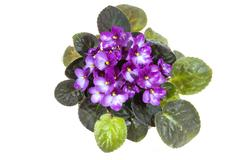 African violet with mass of mauve flowers Stock Photos