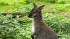 A forest wallaby, Dendrolagus bennettianus, on green grass background. Arkistovideo
