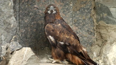 A full-length golden eagle, Aquila chrysaetos, on rocky background. Stock Footage