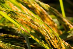 Green and yellow spike in rice field nature background - stock photo