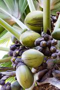 Crop of coco de mer coconuts on a palm tree Stock Photos