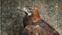 A golden eagle, Aquila chrysaetos, close up on rocky background. Stock Footage