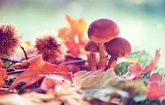 close up of mushrooms amongst autumn foliage - stock photo