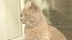 British Shorthair By The Window Stock Footage