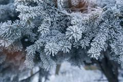 pine tree covered with hoar frost close-up - stock photo
