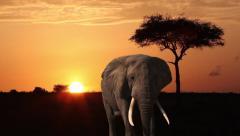 Elephant,  Orange Sky , Tree And African Sunrise - stock footage