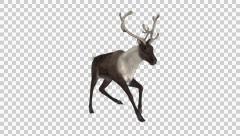 Reindeer - Wild - Brown - Round Antlers - Front Angle - Run Loop - Alpha Stock Footage
