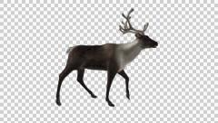 Reindeer - Wild - Brown - Round Antlers - Side Angle - Walk Loop - Alpha - stock footage