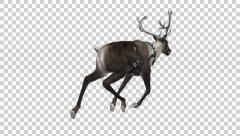 Stock Video Footage of Reindeer - Wild - Brown - Round Antlers - Back Angle - Run Loop - Alpha