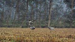 Crane landing in a field Stock Footage