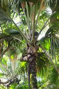 close up of a coco de mer palm tree - stock photo