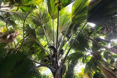 coco de mer palm forest - stock photo