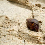 hermit crab in a marine snail shell on beach sand - stock photo
