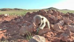 Playing babies visited by mother meerkat 10.3 Stock Footage