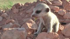 Meerkat baby chewing on blade of grass 10.4 Stock Footage