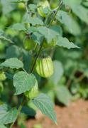 hogweed, ground cherry - stock photo