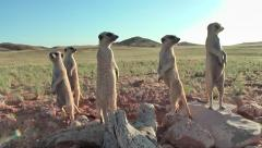 Meerkats carry out intensive social contacts 10.9 Stock Footage