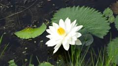 White lotus. HD Stock Footage