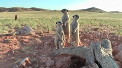 Stock Video Footage of meerkat family rubbing cheeks 10.11