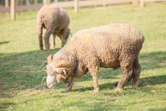 Full body of male merino sheep feeding green grass in ranch livestock animals Stock Photos