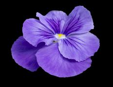 pansy flower closeup - stock photo