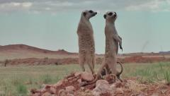 meerkat clan with babies gathering on lookout 11.1 - stock footage