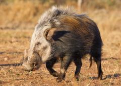 bushpig in daytime, south africa - stock photo