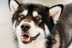 alaskan malamute dog close up portrait - stock photo