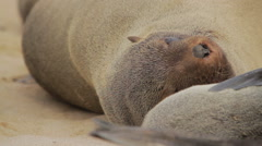 Fur seal at Cape Cross Stock Footage