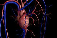 Heart model Stock Illustration