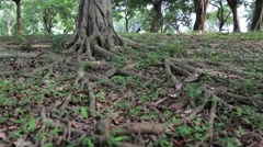 Baniano-Ficus benghalensis in the Daan park Taipei city-Dan Stock Footage
