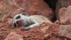 Meerkat baby awakes and cries for mother 11.4 Arkistovideo