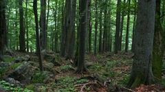 beech forest - stock footage