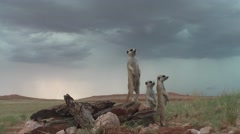 Meerkat on lookout, nervous  11.6 Stock Footage