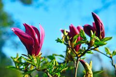 Magnolia liliiflora closeup Stock Photos