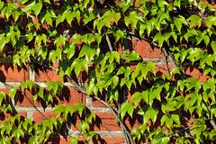 Ivy on the ancient brick wall Stock Photos