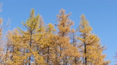 Fall Colored Trees, Low angle view of Larches (Larix) Stock Footage